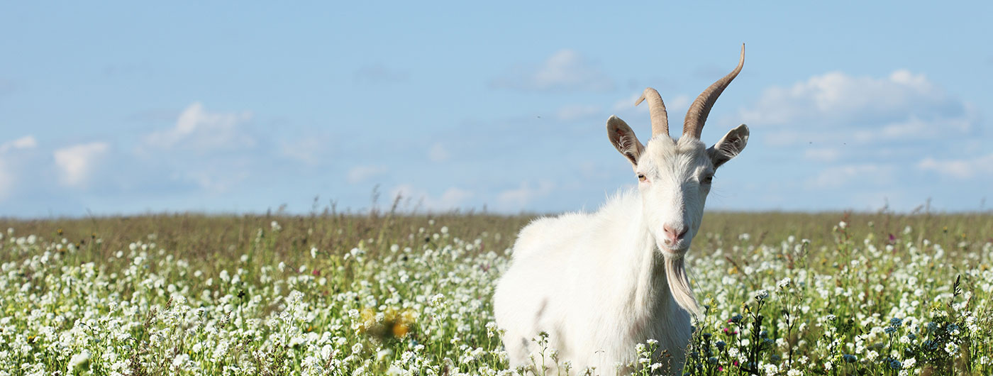 Goat in field